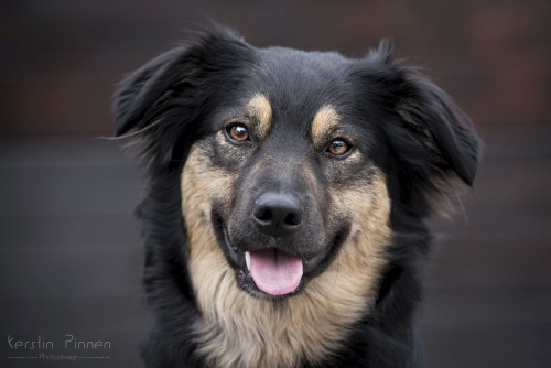 Border Collie Golden Retriever Mix Holly